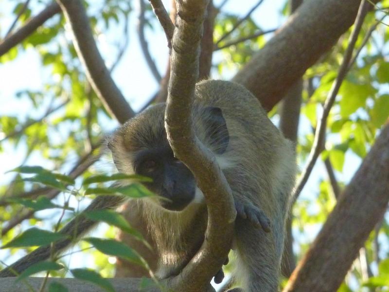 Velvet Monkeys in the back garden of the Caribbean