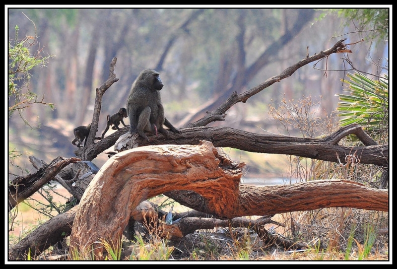 Olive Baboon and two infants