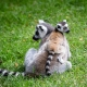 Ring-Tailed-Lemur-with-young