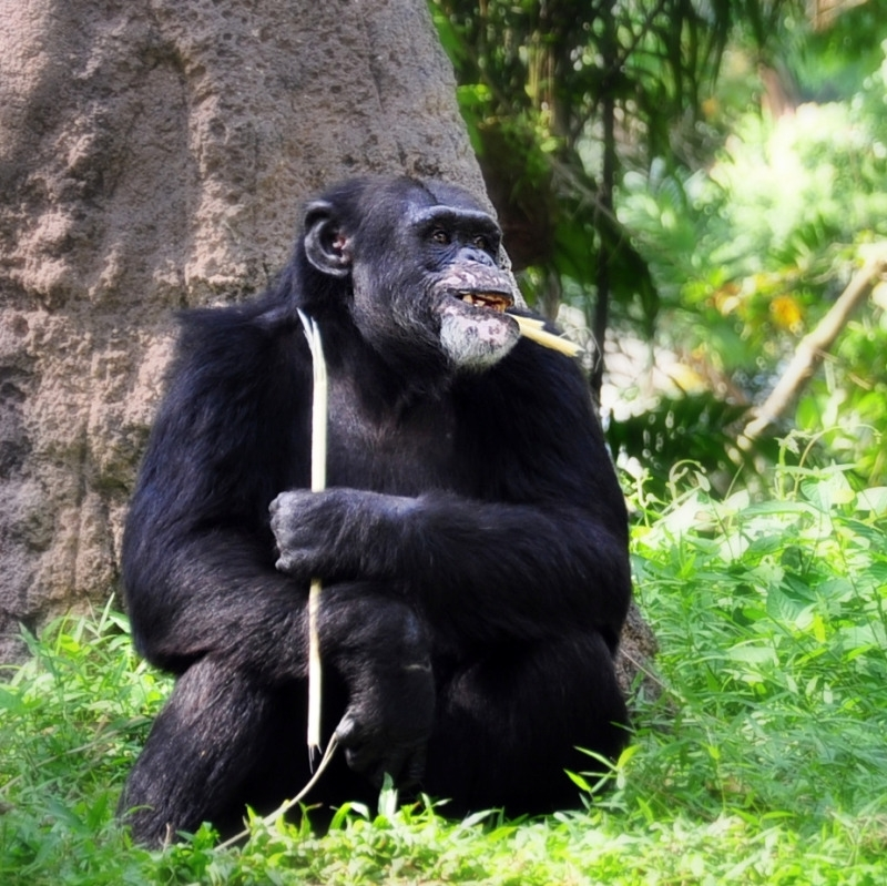 I am a happy chimp. You can see from my face