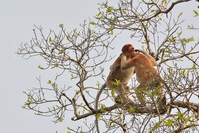 Monkeys-playfight