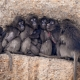A pile of Baboons