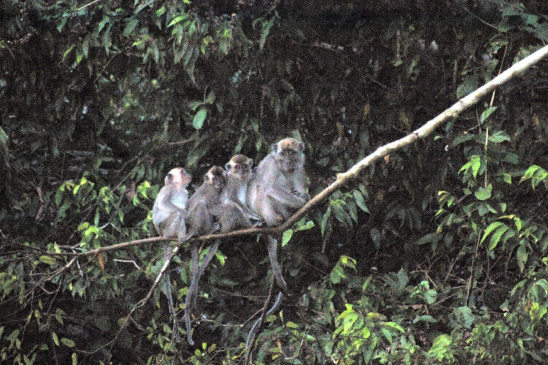 Group of monkeys on a small branch