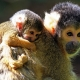 Squirrel-Monkeys-two