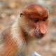Old-World-Old-Face-monkey