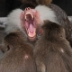 Baboon shouting at two other Baboons