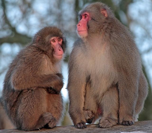 Japanse-makaak