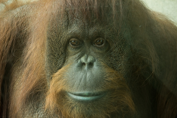 Dumpling the Orangutan