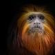 Tamarins-lions