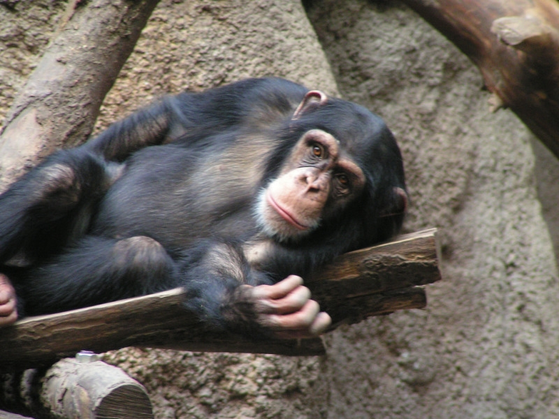 Resting Chimpanzee in Leipzig zoo