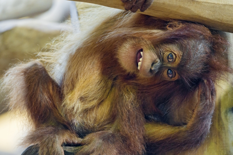 Another rather funny picture of the baby orang utan in France