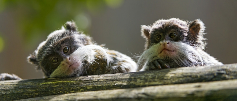 Two cute emperor Tamarins in France