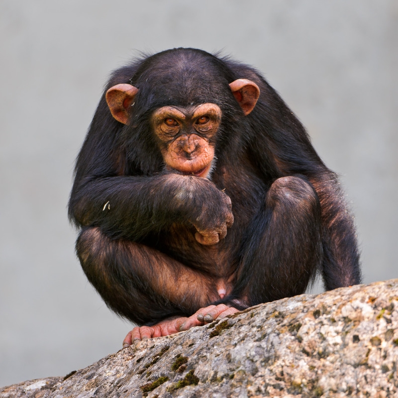 Young male chimpanzee posing on the rock