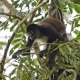 A delicate passage for the Central American Spider Monkey