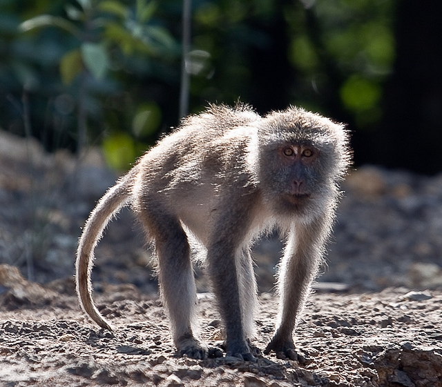 Long-Tailed-Macaque-5