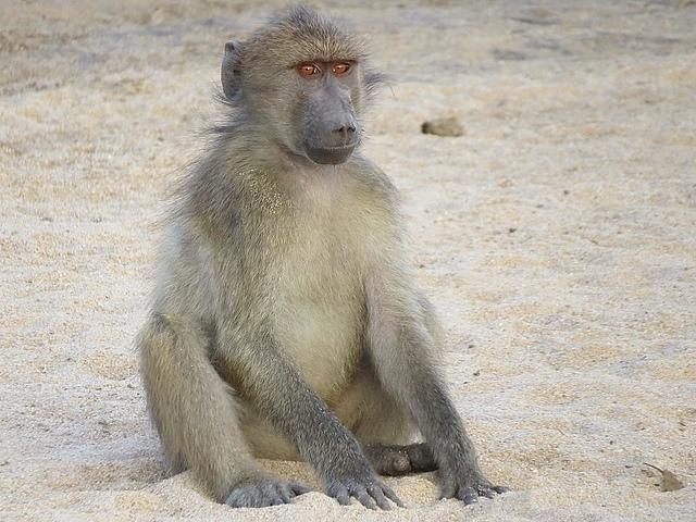 Baboon-sitting