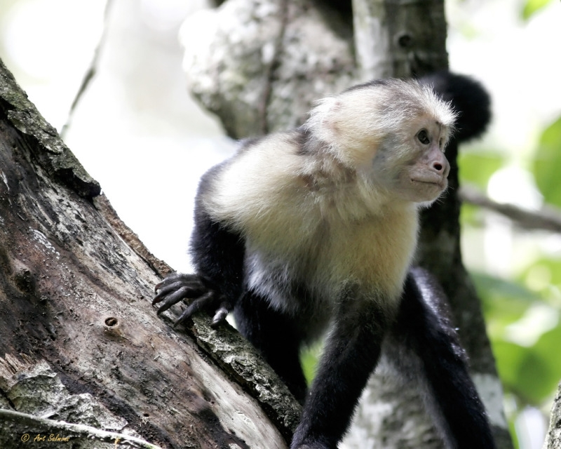 Black and white Capuchin monkey in his tree