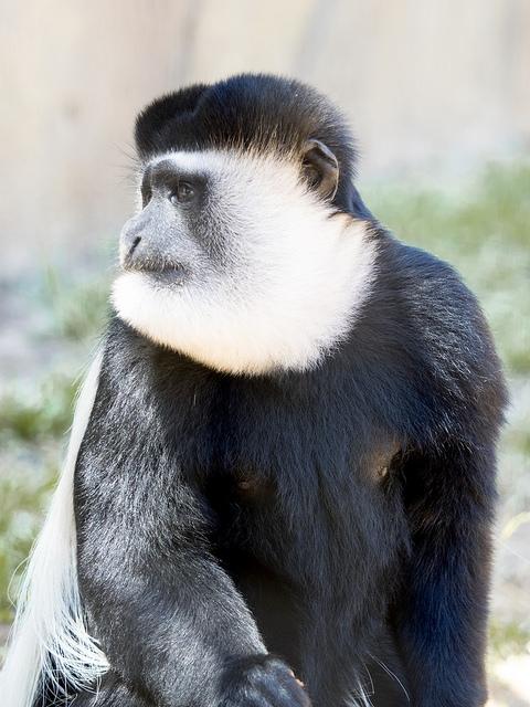 Guereza-Monkey