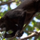 Mantled-Howler-Monkey-8
