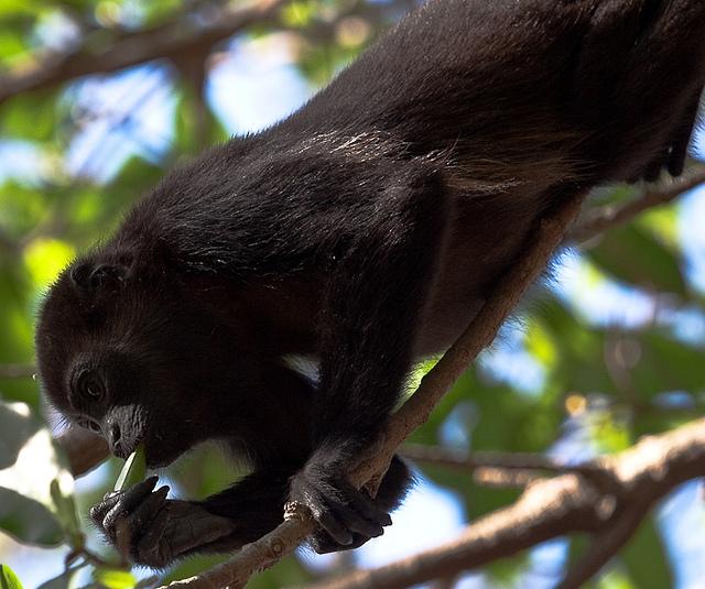 Mantled-Howler-Monkey-8