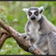 Ring-tailed lemur in tree
