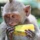 Little monkey having his fruit lunch