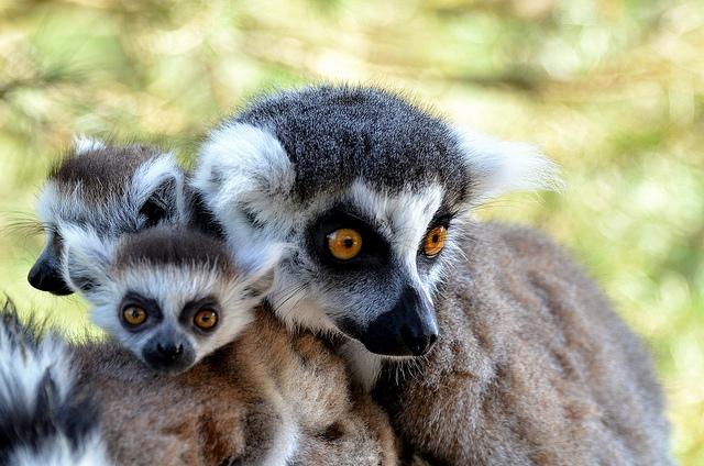 Ringtailed-lemure