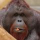 Borneo-orang-oetan-Krefeld