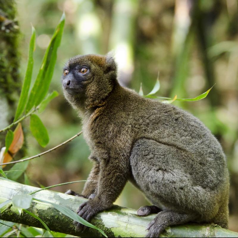 The Greater Bamboo Lemur: The Worlds Rarest Lemur