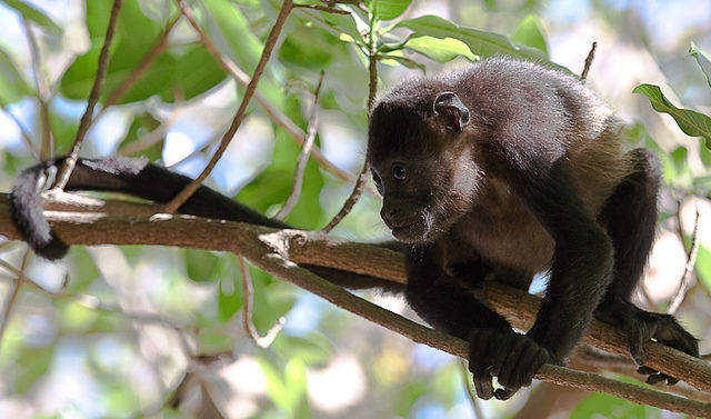 Mantled-Howler-Monkey-7