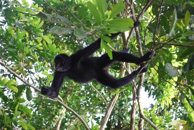 Maquisapa (Spider Monkey) in Peru