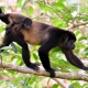 Mantled Howler Monkeys in Corcovado, South East Costa Rica rainforest