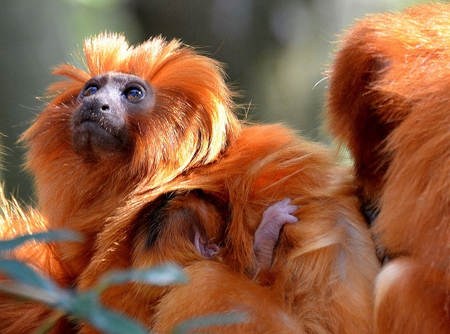 Baby-Golden-Lion-Tamarin