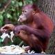 Orangutan-12