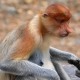 Proboscis-Monkey-giving-the-Thumbs-Up
