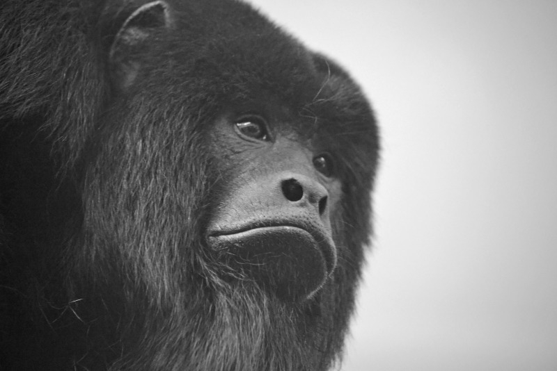 Mojo the black Howler monkey looking very handsome
