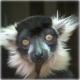 Lemur..cant find my hairbrush!