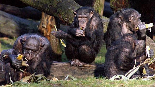 Chimps-2