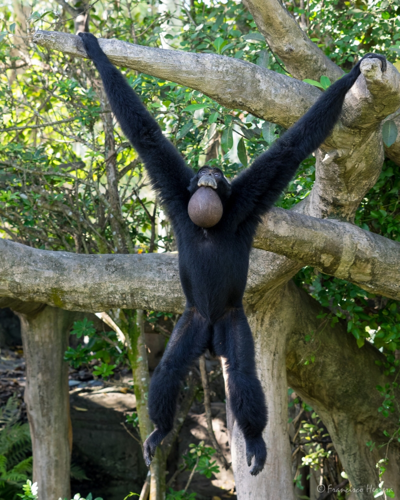 Hanging Gibbon from a tree