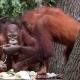 Orangutan-13