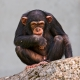 Young male chimpanzee posing on a rock