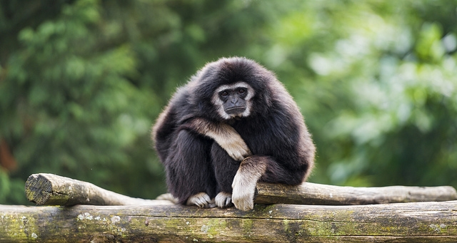Gibbon-on-the-branch