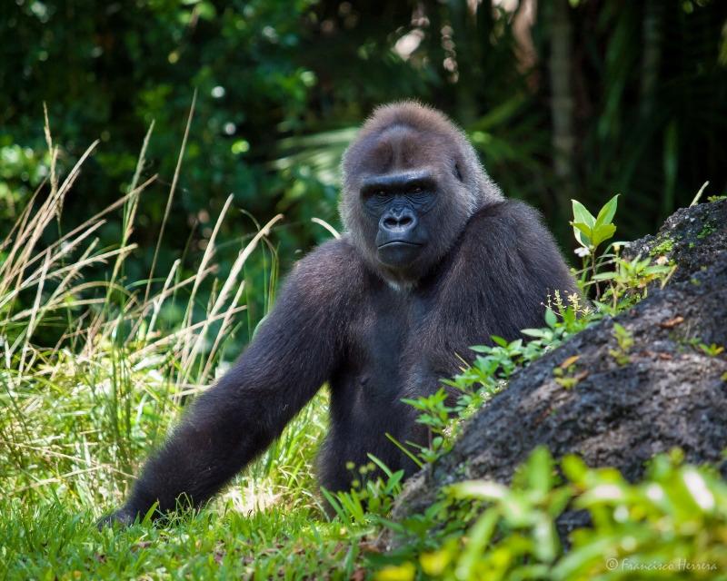 The big Gorilla checks out his territory