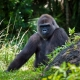 The big Gorilla checks out his territory