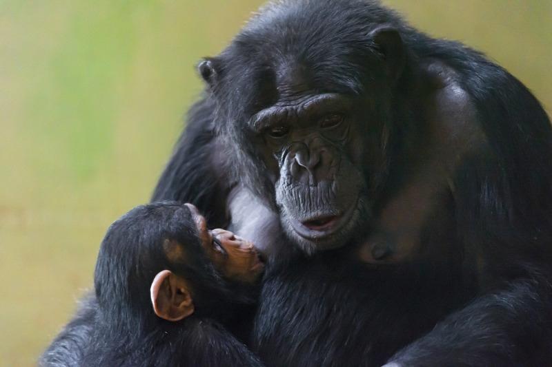 Baby chimpanzee suckling