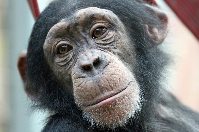 Chimpanzee-Cute