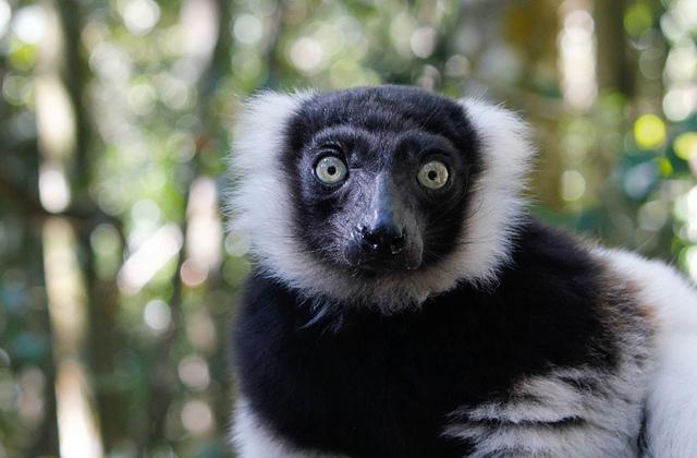 Lemur-1