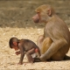 You are not going anywhere young baboon