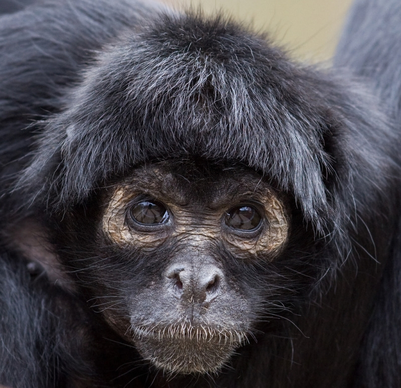 Sad looking Spider Monkey