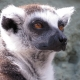 A concentrating Lemur